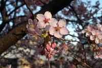 11/03/19  若草公園河津桜取材
